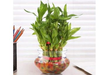 Nurturing Green Lucky Bamboo Two Layer Round Glass Pot at Rs. 299